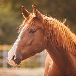 ca. 1,3 Mio Pferde